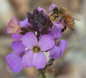 Honey bee on wallflower