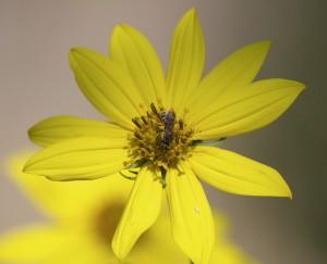 Halictus ligatus on hairy sunflower