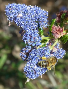 Honey bee on ceanothus 'Ray Hartman'