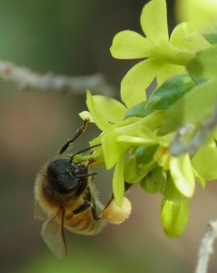 Honey bee on golden currant with heavy pollen load