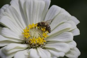 Honey bee on white zinnia