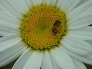 Sweat bee on Shasta daisy