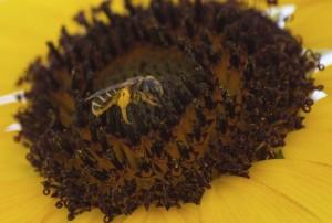 Sweat bee on sunflower