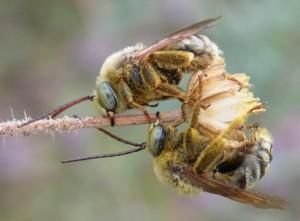 Svastra obliqua male bees on Madia elegans