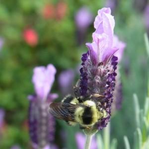 Bombus melanopygus queen on 'Anne's Purple' Spanish lavender