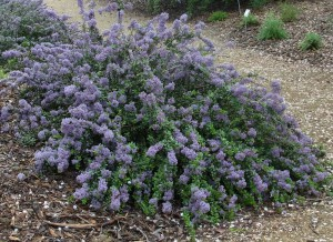 Photo of ceanothus 'Valley Violet' in full bloom