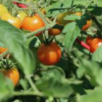 Tomatoes being grown in a garden